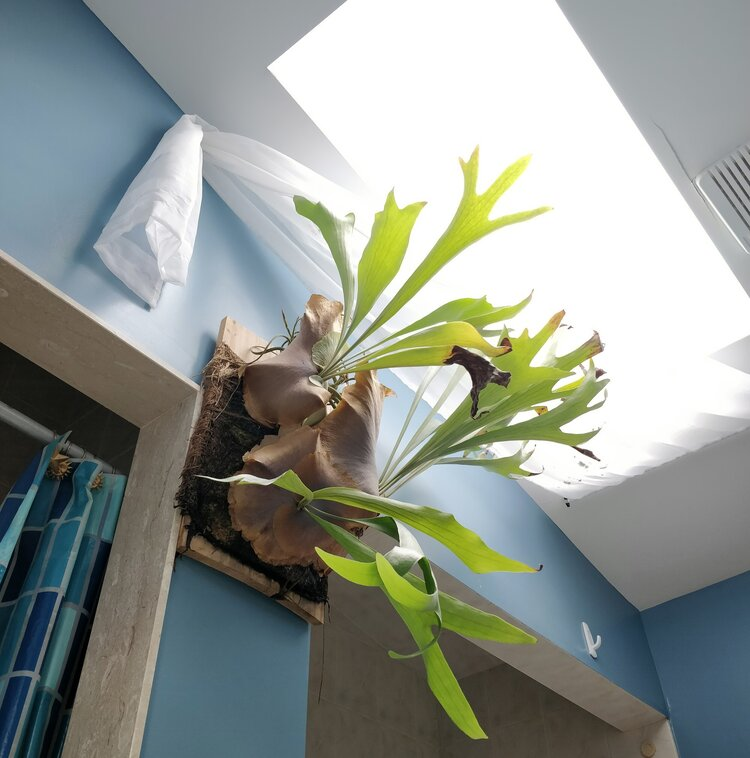 Without this skylight, my staghorn fern would not have grown to this size and structure. The DLI of the spot directly below this skylight is much higher than beside any of my other windows.