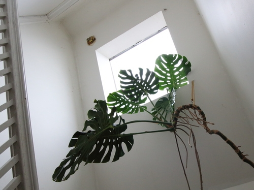 A monstera deliciosa enjoying plenty of light from this skylight.