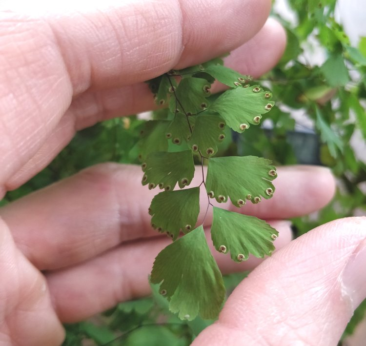 One more thing: if you are successful in keeping a maidenhair fern happy for several months, you will be rewarded with spores! That's the fern reaching puberty. The spores are brown dots that form on the undersides of fronds - don't confuse this with a scale infestation!
