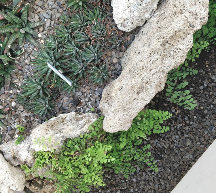 How is it that these maidenhair ferns can thrive right next to this patch of Haworthias? Simple: the patch of Haworthias uses a rapidly draining soil (probably mostly sand), letting most of the water flow down to settle near the base of the big rocks. That high moisture area is perfect for maidenhair ferns. Moisture at the root level is what matters. Humidity doesn't have as much of an effect on the plant when the important factors (light and soil moisture) are taken care of.