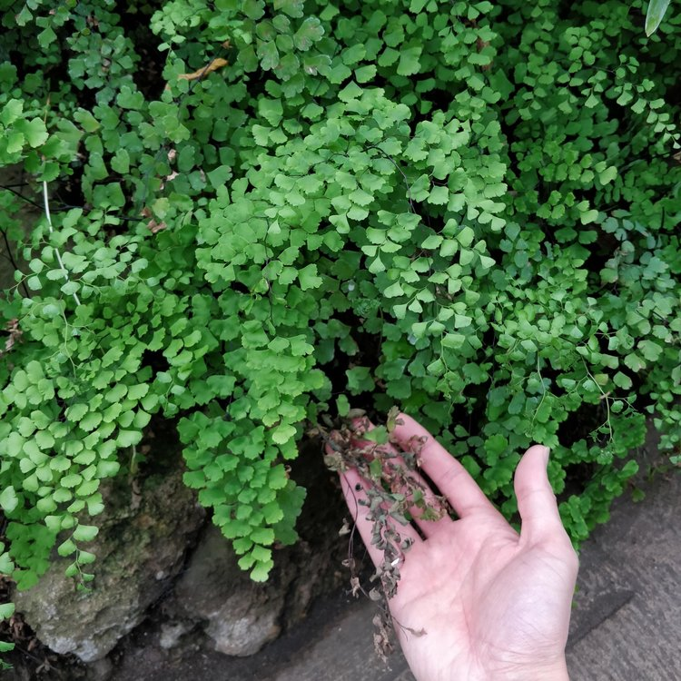 Older maidenhair fern fronds die off because of low soil moisture or nutrient reallocation. The gardeners will cut this off and you would never know.