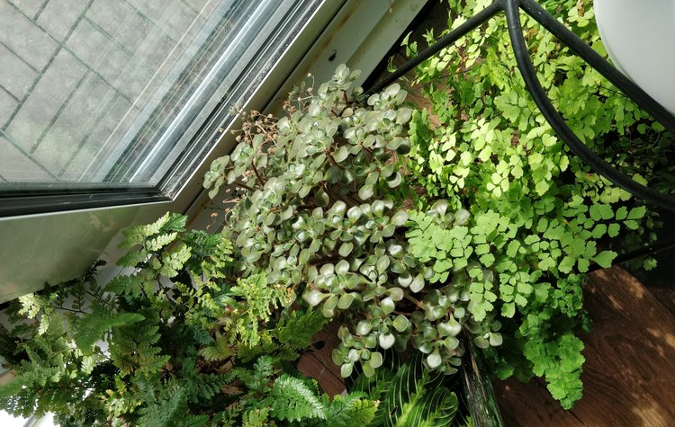 Top right: My maidenhair fern has been living here for about 9 months: large west-facing window, mostly unobstructed sky and direct sun for around 2-3 hours. Yes, my maidenhair fern takes direct sun just fine - I just need to check the soil moisture every few days.