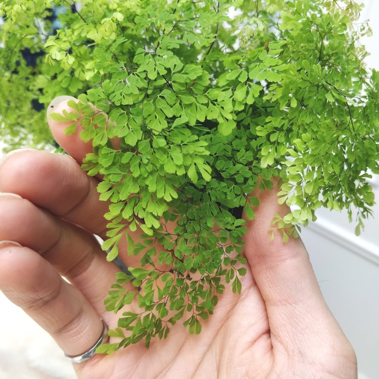I have no idea what this one is called but I'm loving the ultra-small leaflets - as if the maidenhair fern wasn't delicate enough, now there's a mini version!