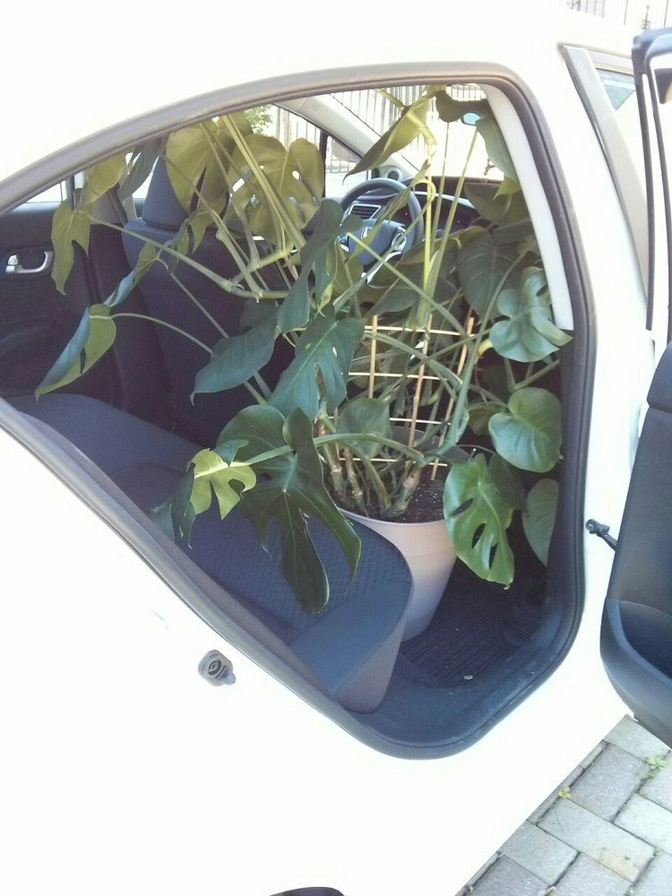 June 13, 2015 -  it's a bittersweet day as I decided to move monstera to my church where she could have a room all to herself. With the front seat all the way up, my monstera fits just right in my Honda Civic (bought it just a month before). An important care routine change should be noted: I'm only at my church once a week (and it's far from where I live), which means that I would be forced to water at fixed intervals. But since the light she will be getting is even brighter than in my home, I know that she will be thirsty within a week.  PLANT WISDOM:  problems of overwatering typically occur when there is NOT ENOUGH LIGHT for the plant to make use of all the soil moisture. So instead of watering less (okay solution), increase the light (best solution).